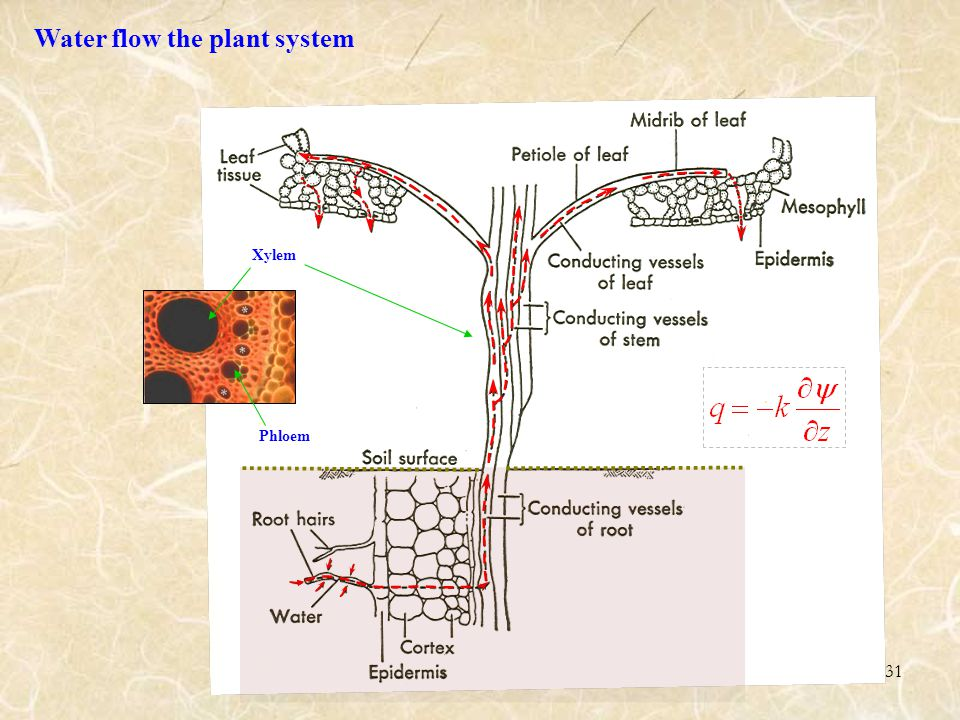 31 Xylem Phloem Water flow the plant system