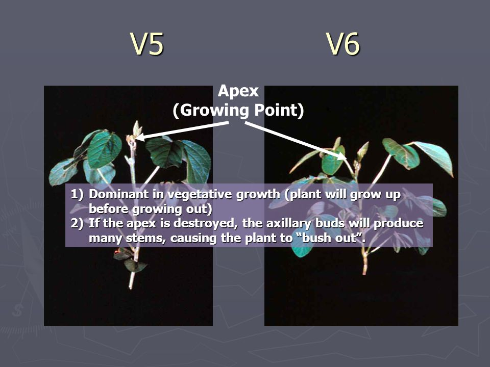 V5V6 Apex (Growing Point) 1)Dominant in vegetative growth (plant will grow up before growing out) 2)If the apex is destroyed, the axillary buds will produce many stems, causing the plant to bush out .
