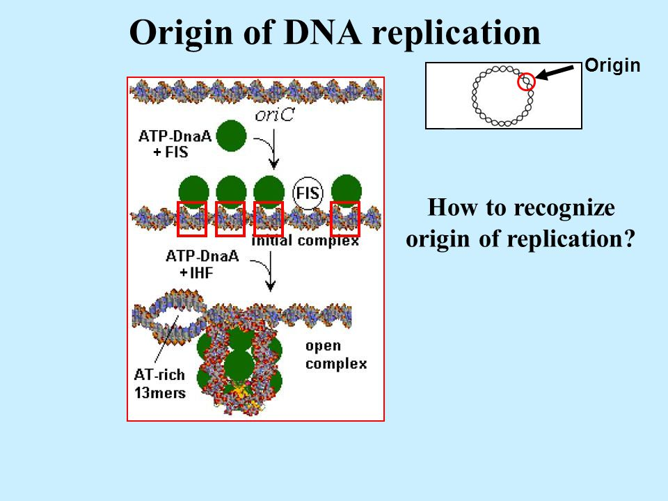 Origin of DNA replication Origin + + How to recognize origin of replication