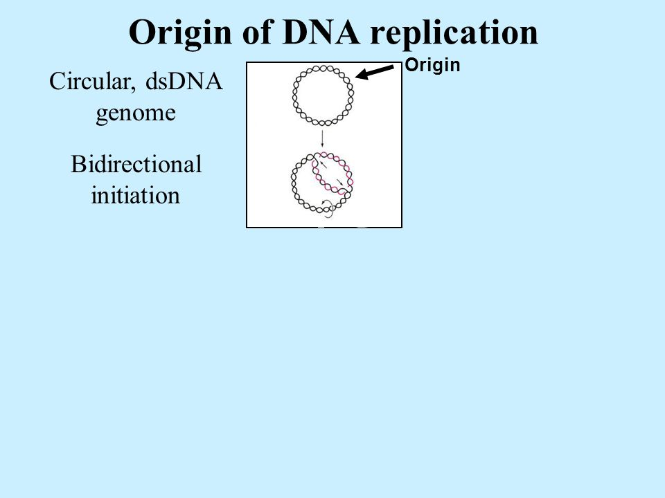 Origin of DNA replication Circular, dsDNA genome Origin Bidirectional initiation