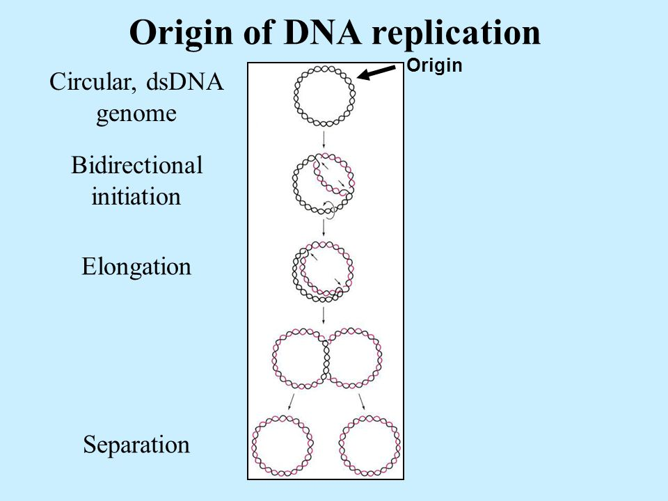 Origin of DNA replication Circular, dsDNA genome Bidirectional initiation Origin Elongation Separation