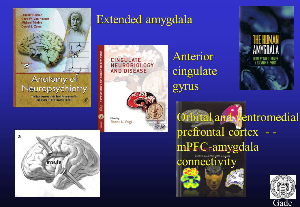 3 Gade Extended amygdala Anterior cingulate gyrus Orbital and ventromedial prefrontal cortex - - mPFC-amygdala connectivity