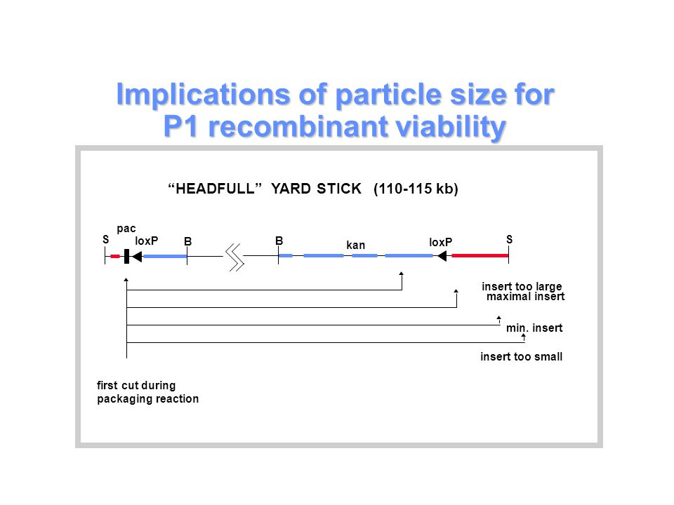 Implications of particle size for P1 recombinant viability loxP B S pac kan loxP B S insert too large maximal insert min.
