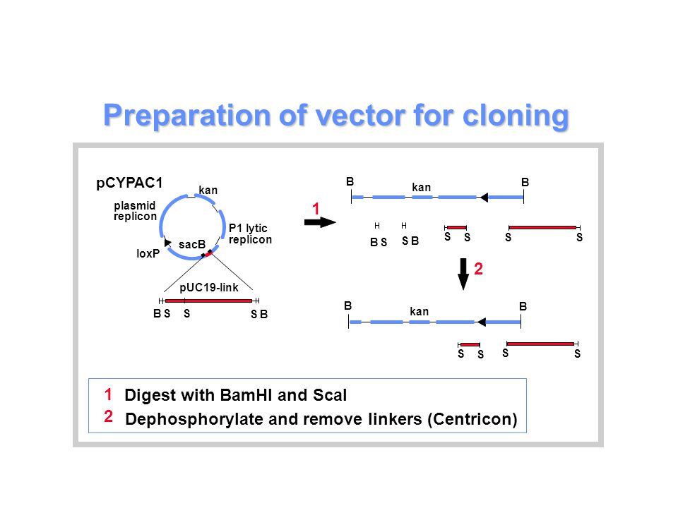 Preparation of vector for cloning P1 lytic replicon loxP plasmid replicon kan sacB B B S S pUC19-link S pCYPAC1 kan B B BS B S S S S S 1 2 B B S S S S 1 2 Digest with BamHI and ScaI Dephosphorylate and remove linkers (Centricon)