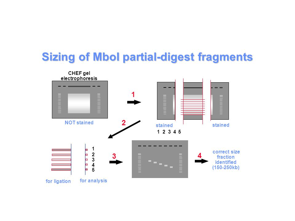 Sizing of MboI partial-digest fragments 4 3 1 2 3 4 5 1 2 3 4 5 2 CHEF gel electrophoresis NOT stained stained 1 correct size fraction identified (150-250kb) for ligation for analysis