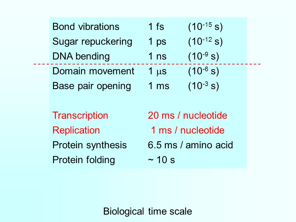 Biological time scale Bond vibrations1 fs(10 -15 s) Sugar repuckering1 ps(10 -12 s) DNA bending 1 ns(10 -9 s) Domain movement1  s(10 -6 s) Base pair opening1 ms(10 -3 s) Transcription20 ms / nucleotide Replication 1 ms / nucleotide Protein synthesis6.5 ms / amino acid Protein folding~ 10 s