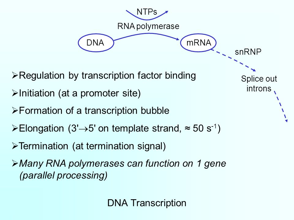 DNA Transcription  Regulation by transcription factor binding  Initiation (at a promoter site)  Formation of a transcription bubble  Elongation (3  5 on template strand, ≈ 50 s -1 )  Termination (at termination signal)  Many RNA polymerases can function on 1 gene (parallel processing) DNAmRNA RNA polymerase snRNP Splice out introns NTPs