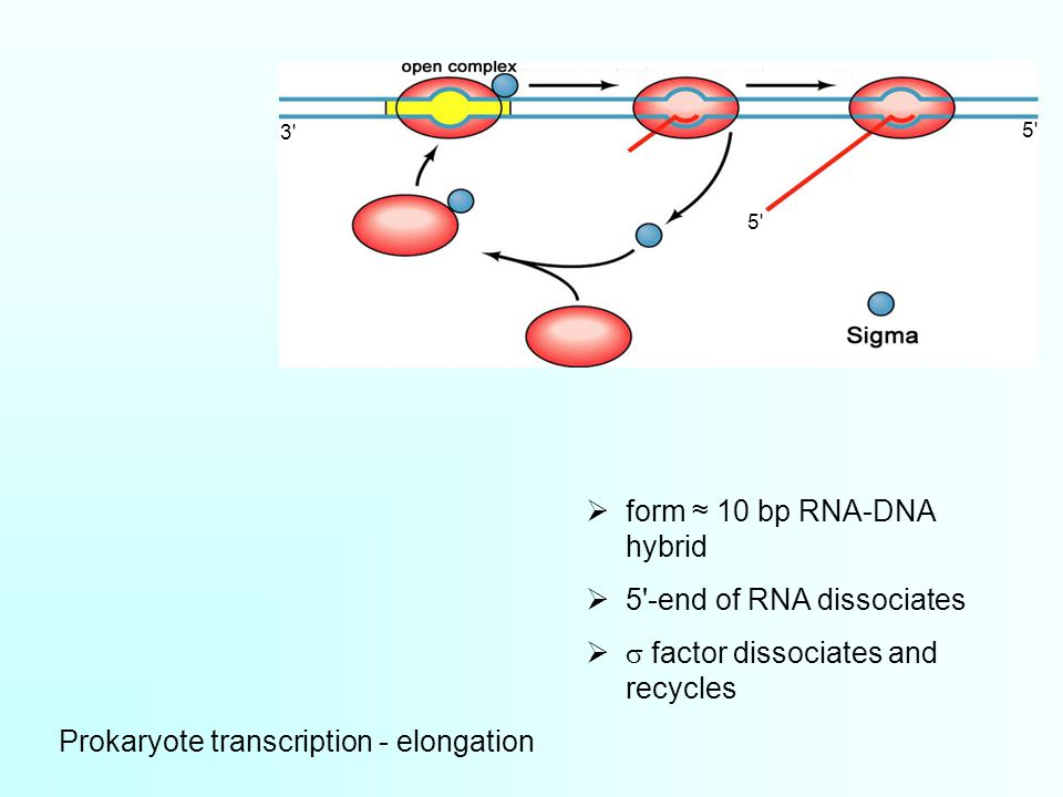 Prokaryote transcription - elongation  form ≈ 10 bp RNA-DNA hybrid  5 -end of RNA dissociates   factor dissociates and recycles 3 5