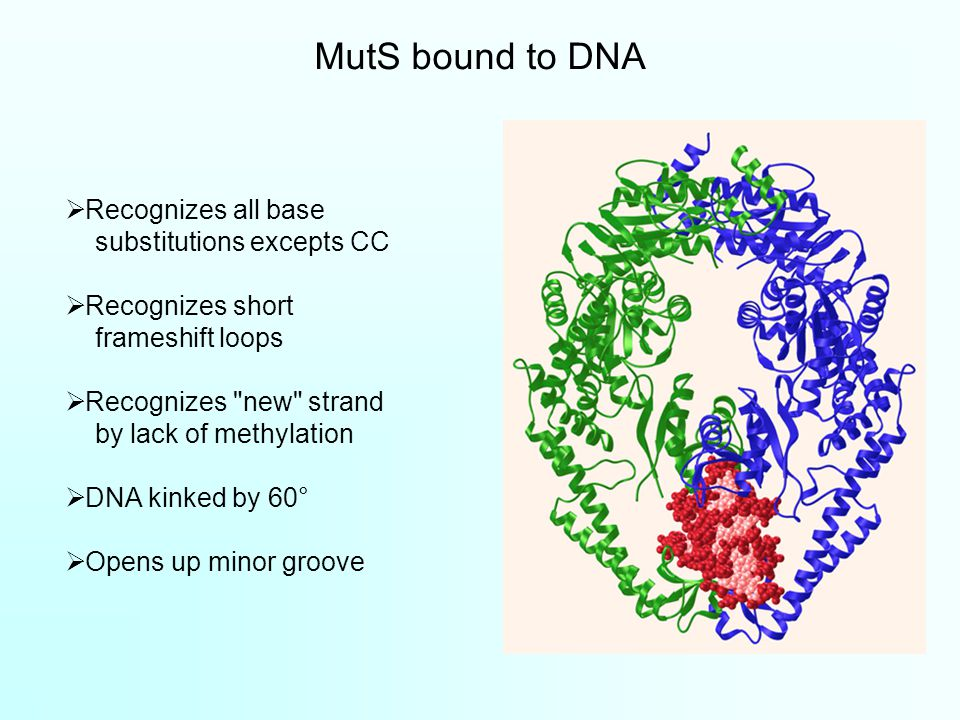 MutS bound to DNA  Recognizes all base substitutions excepts CC  Recognizes short frameshift loops  Recognizes new strand by lack of methylation  DNA kinked by 60°  Opens up minor groove