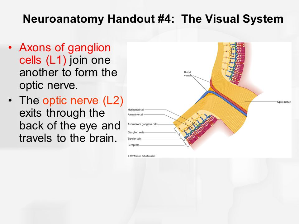 Neuroanatomy Handout #4: The Visual System Axons of ganglion cells (L1) join one another to form the optic nerve.