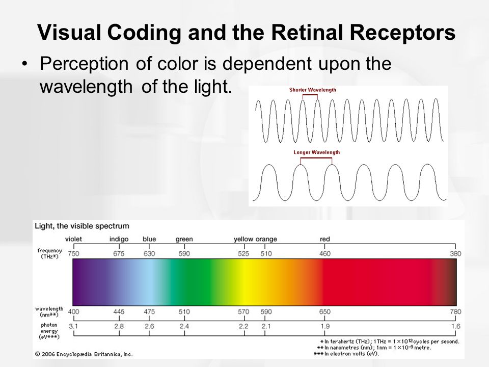 Visual Coding and the Retinal Receptors Perception of color is dependent upon the wavelength of the light.