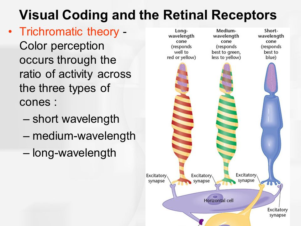Visual Coding and the Retinal Receptors Trichromatic theory - Color perception occurs through the ratio of activity across the three types of cones : –short wavelength –medium-wavelength –long-wavelength