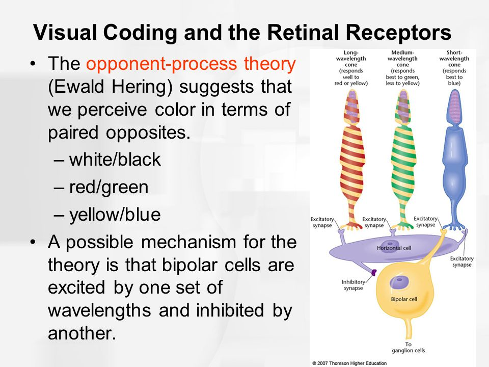 Visual Coding and the Retinal Receptors The opponent-process theory (Ewald Hering) suggests that we perceive color in terms of paired opposites.