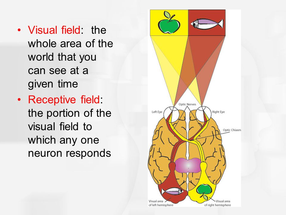 Visual field: the whole area of the world that you can see at a given time Receptive field: the portion of the visual field to which any one neuron responds