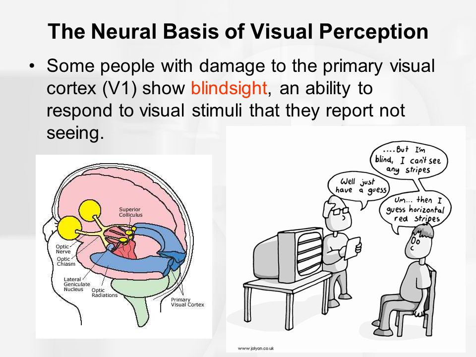 The Neural Basis of Visual Perception Some people with damage to the primary visual cortex (V1) show blindsight, an ability to respond to visual stimuli that they report not seeing.