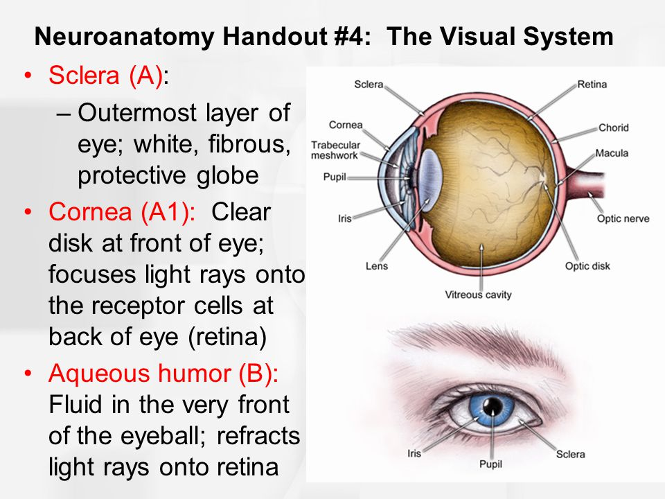 Neuroanatomy Handout #4: The Visual System Sclera (A): –Outermost layer of eye; white, fibrous, protective globe Cornea (A1): Clear disk at front of eye; focuses light rays onto the receptor cells at back of eye (retina) Aqueous humor (B): Fluid in the very front of the eyeball; refracts light rays onto retina