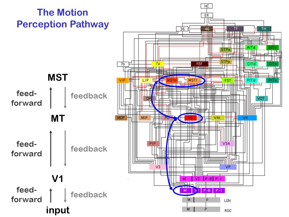 The Motion Perception Pathway MST MT V1 feed- forward feedback input feed- forward feedback