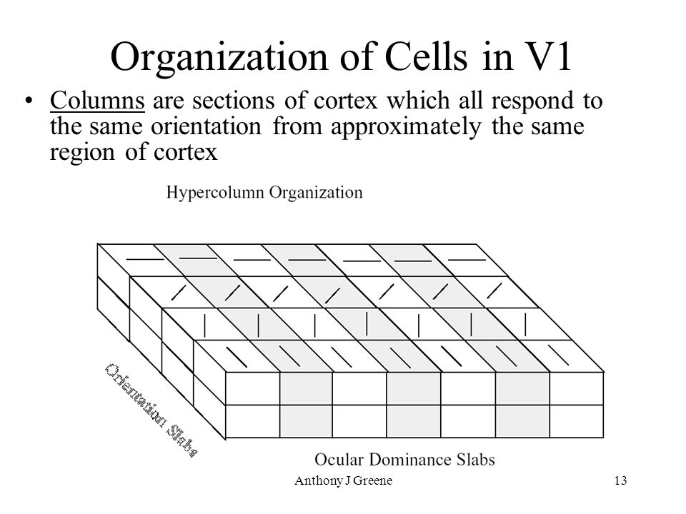 Anthony J Greene13 Organization of Cells in V1 Columns are sections of cortex which all respond to the same orientation from approximately the same region of cortex