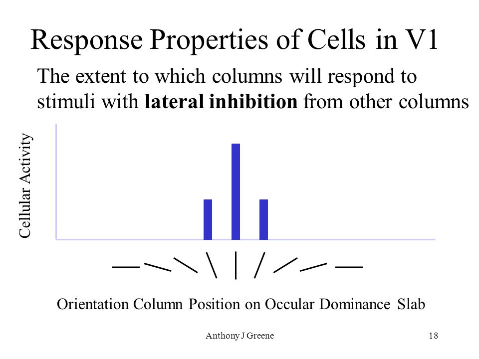 Anthony J Greene18 Response Properties of Cells in V1 The extent to which columns will respond to stimuli with lateral inhibition from other columns Orientation Column Position on Occular Dominance Slab Cellular Activity