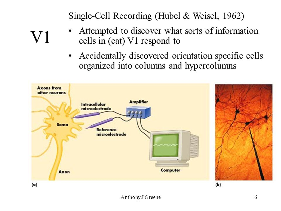 Anthony J Greene6 Single-Cell Recording (Hubel & Weisel, 1962) Attempted to discover what sorts of information cells in (cat) V1 respond to Accidentally discovered orientation specific cells organized into columns and hypercolumns V1
