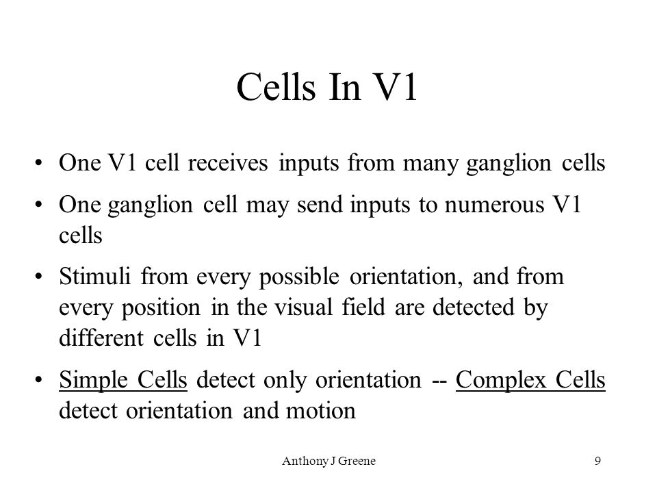 Anthony J Greene9 Cells In V1 One V1 cell receives inputs from many ganglion cells One ganglion cell may send inputs to numerous V1 cells Stimuli from every possible orientation, and from every position in the visual field are detected by different cells in V1 Simple Cells detect only orientation -- Complex Cells detect orientation and motion