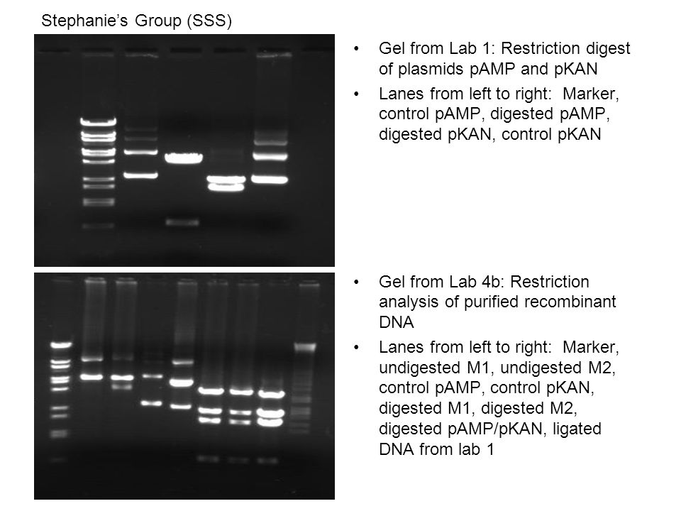 Stephanie's Group (SSS) Gel from Lab 1: Restriction digest of plasmids pAMP and pKAN Lanes from left to right: Marker, control pAMP, digested pAMP, digested pKAN, control pKAN Gel from Lab 4b: Restriction analysis of purified recombinant DNA Lanes from left to right: Marker, undigested M1, undigested M2, control pAMP, control pKAN, digested M1, digested M2, digested pAMP/pKAN, ligated DNA from lab 1