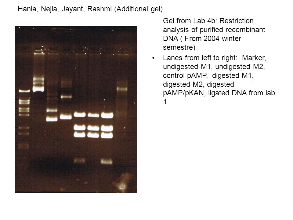 Gel from Lab 4b: Restriction analysis of purified recombinant DNA ( From 2004 winter semestre) Lanes from left to right: Marker, undigested M1, undigested M2, control pAMP, digested M1, digested M2, digested pAMP/pKAN, ligated DNA from lab 1 Hania, Nejla, Jayant, Rashmi (Additional gel)