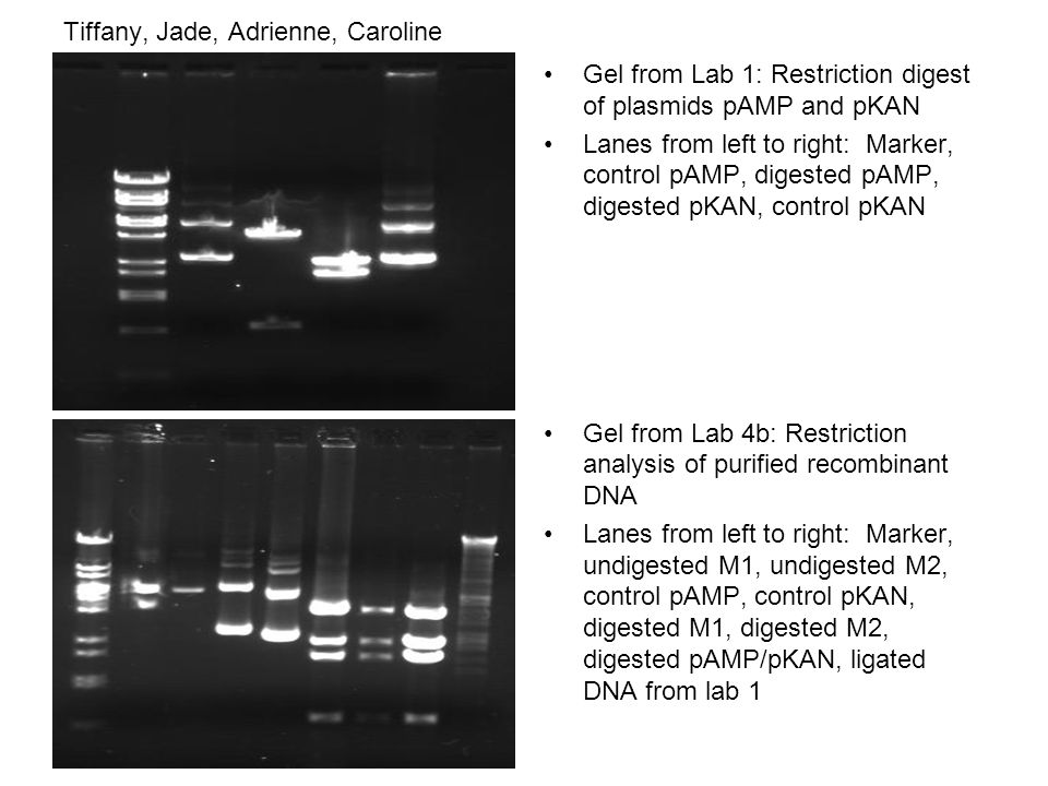 Tiffany, Jade, Adrienne, Caroline Gel from Lab 1: Restriction digest of plasmids pAMP and pKAN Lanes from left to right: Marker, control pAMP, digested pAMP, digested pKAN, control pKAN Gel from Lab 4b: Restriction analysis of purified recombinant DNA Lanes from left to right: Marker, undigested M1, undigested M2, control pAMP, control pKAN, digested M1, digested M2, digested pAMP/pKAN, ligated DNA from lab 1