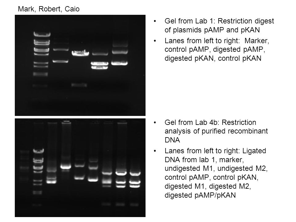 Mark, Robert, Caio Gel from Lab 1: Restriction digest of plasmids pAMP and pKAN Lanes from left to right: Marker, control pAMP, digested pAMP, digested pKAN, control pKAN Gel from Lab 4b: Restriction analysis of purified recombinant DNA Lanes from left to right: Ligated DNA from lab 1, marker, undigested M1, undigested M2, control pAMP, control pKAN, digested M1, digested M2, digested pAMP/pKAN
