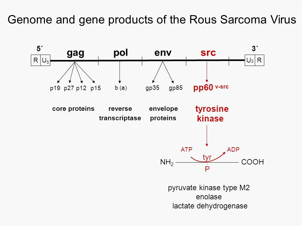 kinase 3´ gagpolenvsrc pp60 v-src p19p27p12p15 gp35gp85 core proteinsreverseenvelope tyrosine proteinstranscriptase Genome and gene products of the Rous Sarcoma Virus NH 2 COOH tyr P ATPADP U3U3 R 5´ b (a) pyruvate kinase type M2 enolase lactate dehydrogenase R U 5
