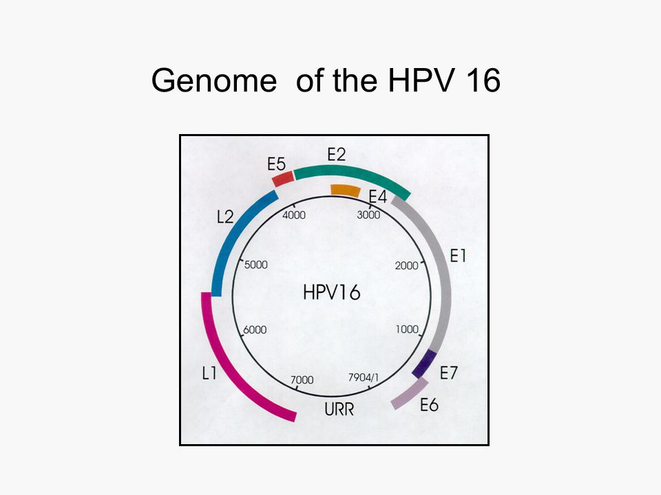 Genome of the HPV 16