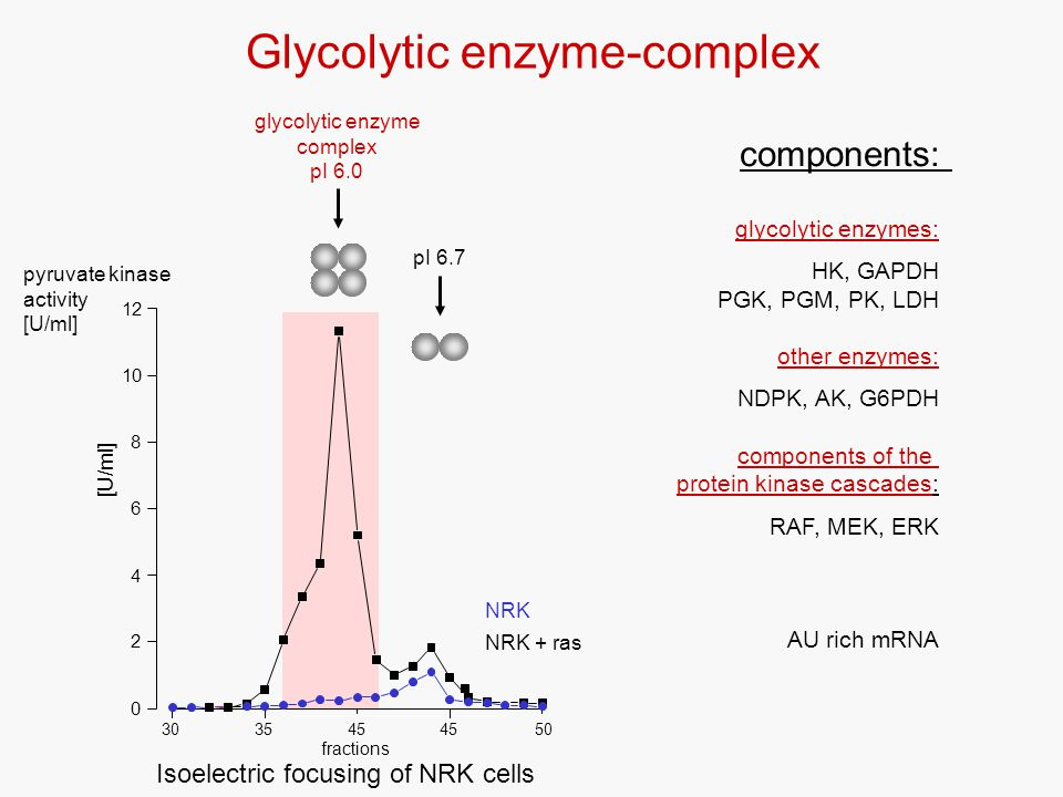 Glycolytic enzyme-complex glycolytic enzymes: HK, GAPDH PGK, PGM, PK, LDH other enzymes: NDPK, AK, G6PDH components of the protein kinase cascades: RAF, MEK, ERK AU rich mRNA components: Isoelectric focusing of NRK cells pyruvate kinase activity [U/ml] glycolytic enzyme complex pI 6.0 pI 6.7 0 2 4 6 8 10 12 3545 fractions [U/ml] 304550 NRK NRK + ras