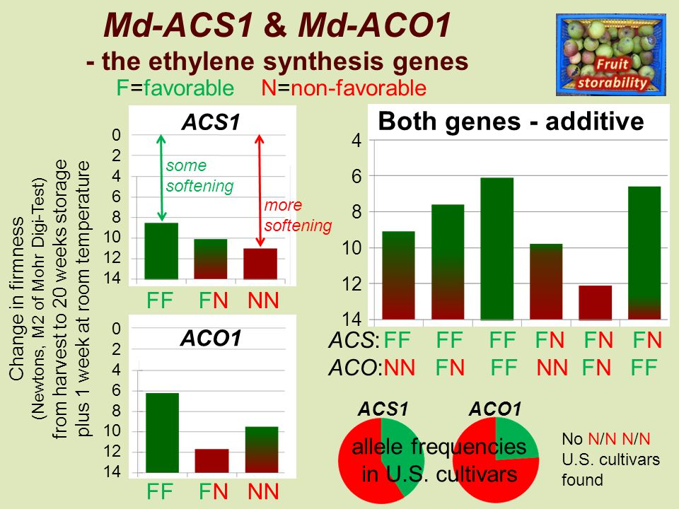 4 6 8 10 12 14 Both genes - additive 0 2 4 6 8 10 12 14 Md-ACS1 & Md-ACO1 - the ethylene synthesis genes Change in firmness (Newtons, M2 of Mohr Digi-Test) from harvest to 20 weeks storage plus 1 week at room temperature 0 2 4 6 8 10 12 14 some softening more softening ACS:FF FF FF FN FN FN ACO:NN FN FF NN FN FF FF FN NN ACS1ACO1 allele frequencies in U.S.