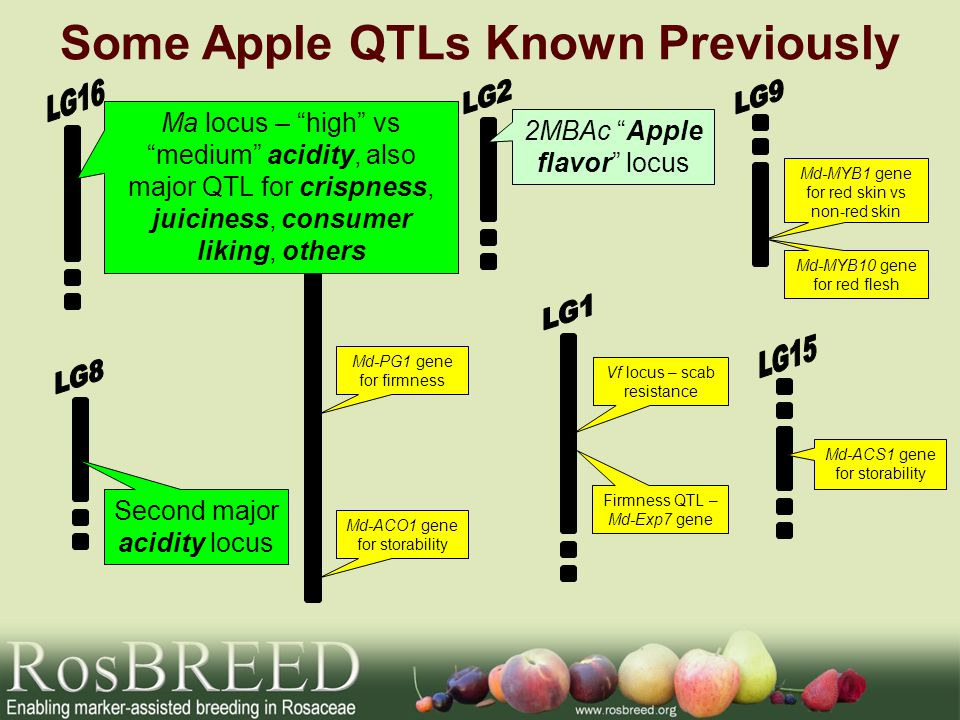 Some Apple QTLs Known Previously Vf locus – scab resistance Firmness QTL – Md-Exp7 gene Md-PG1 gene for firmness 2MBAc Apple flavor locus Ma locus – high vs medium acidity, also major QTL for crispness, juiciness, consumer liking, others Md-MYB1 gene for red skin vs non-red skin Md-MYB10 gene for red flesh Md-ACS1 gene for storability Md-ACO1 gene for storability Second major acidity locus
