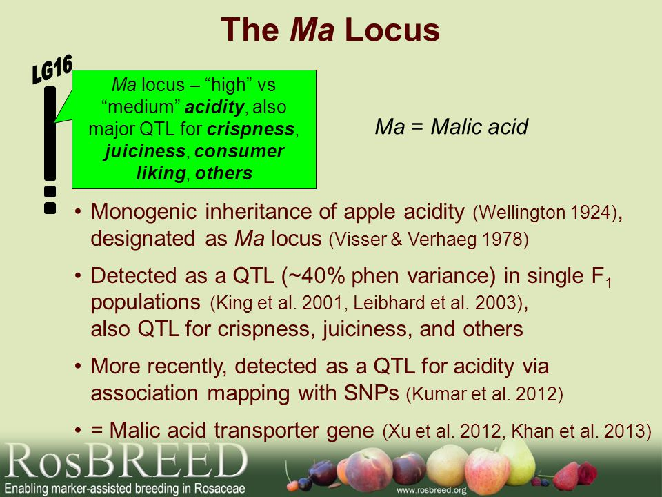The Ma Locus Monogenic inheritance of apple acidity (Wellington 1924), designated as Ma locus (Visser & Verhaeg 1978) Detected as a QTL (~40% phen variance) in single F 1 populations (King et al.