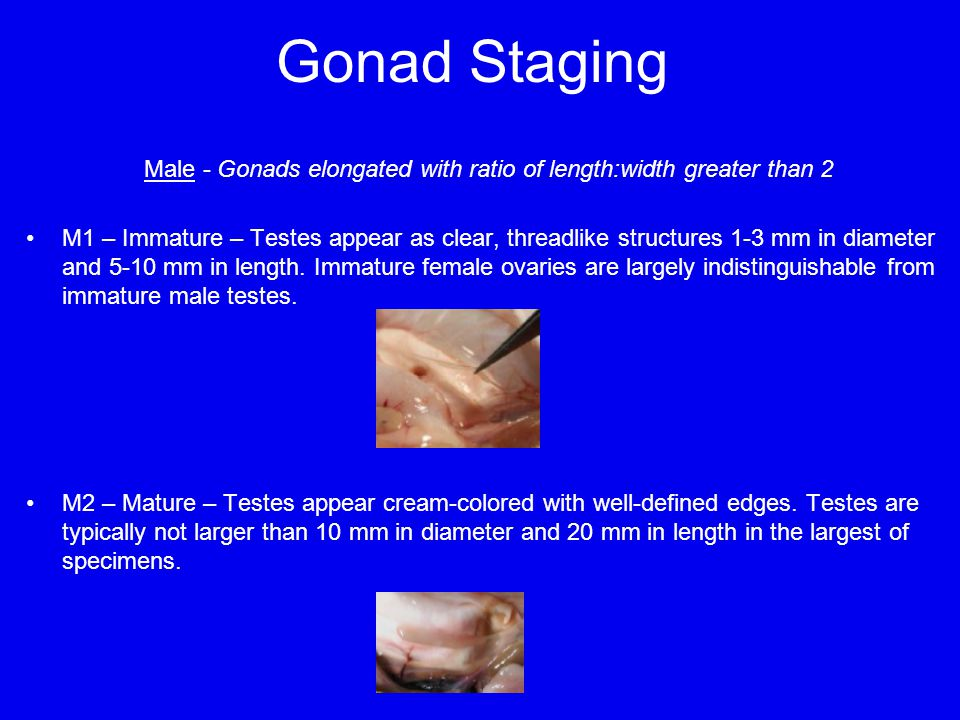 Gonad Staging Male - Gonads elongated with ratio of length:width greater than 2 M1 – Immature – Testes appear as clear, threadlike structures 1-3 mm in diameter and 5-10 mm in length.