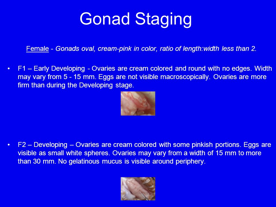 Gonad Staging Female - Gonads oval, cream-pink in color, ratio of length:width less than 2.