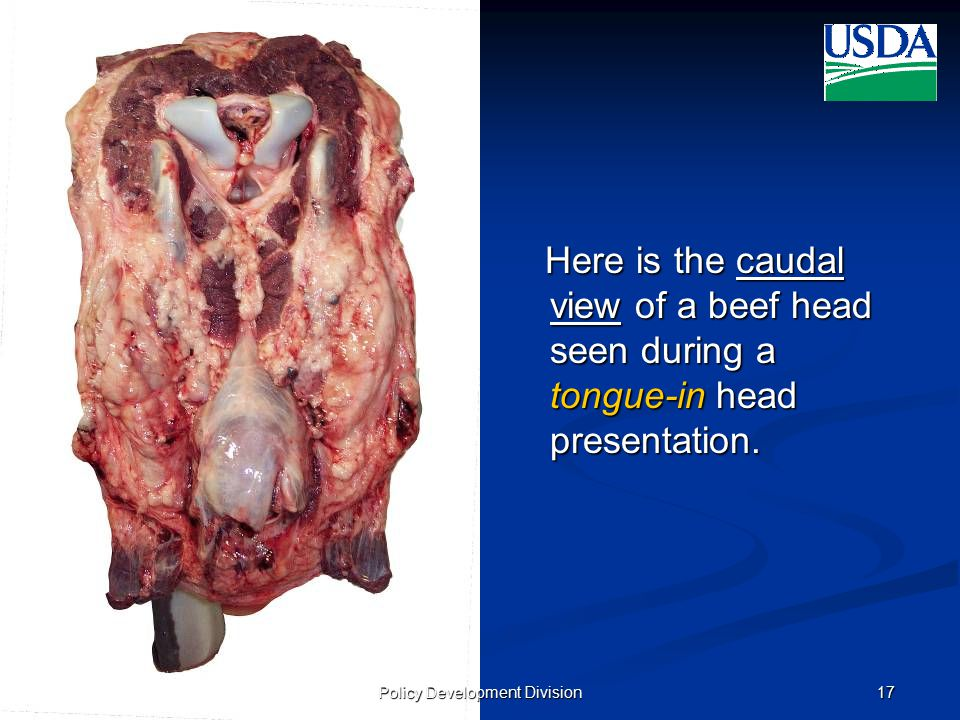 UNITED STATES DEPARTMENT OF AGRICULTURE FOOD SAFETY AND INSPECTION SERVICE October 10, 2008 (v2)17 Here is the caudal view of a beef head seen during a tongue-in head presentation.