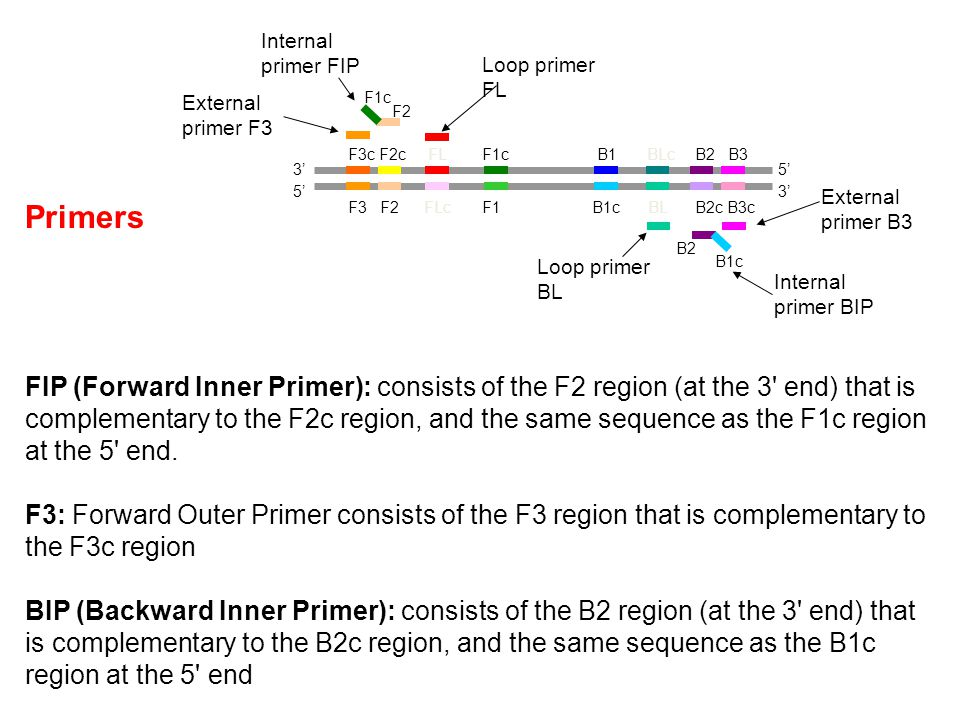 Primers FIP (Forward Inner Primer): consists of the F2 region (at the 3 end) that is complementary to the F2c region, and the same sequence as the F1c region at the 5 end.