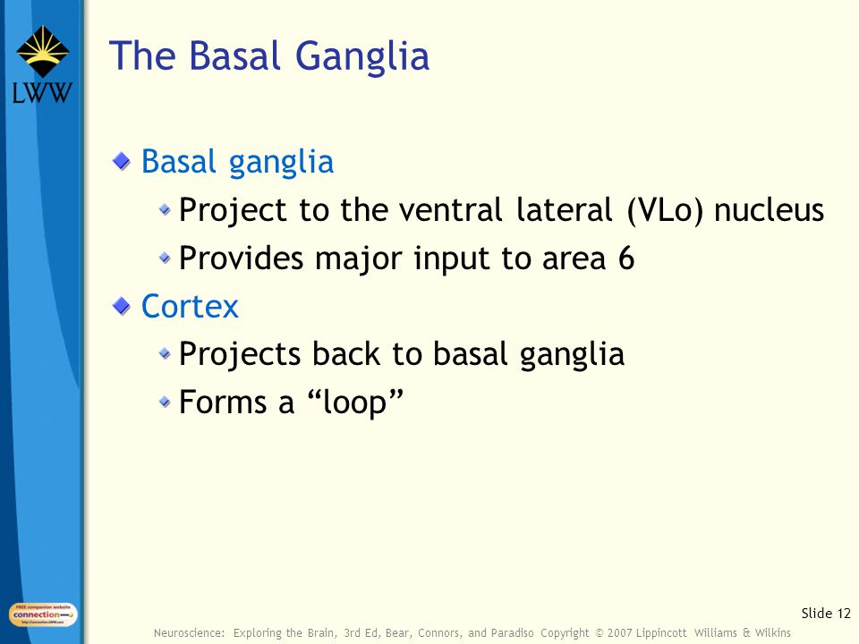 Slide 12 Neuroscience: Exploring the Brain, 3rd Ed, Bear, Connors, and Paradiso Copyright © 2007 Lippincott Williams & Wilkins The Basal Ganglia Basal ganglia Project to the ventral lateral (VLo) nucleus Provides major input to area 6 Cortex Projects back to basal ganglia Forms a loop