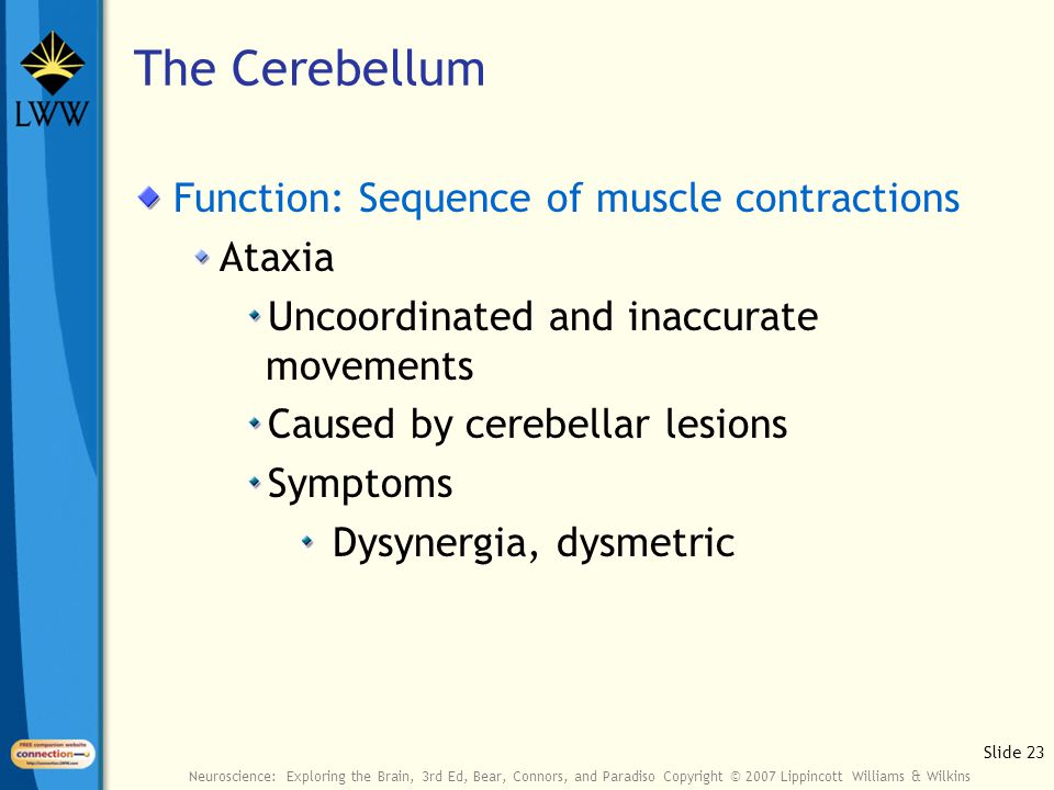 Slide 23 Neuroscience: Exploring the Brain, 3rd Ed, Bear, Connors, and Paradiso Copyright © 2007 Lippincott Williams & Wilkins The Cerebellum Function: Sequence of muscle contractions Ataxia Uncoordinated and inaccurate movements Caused by cerebellar lesions Symptoms Dysynergia, dysmetric