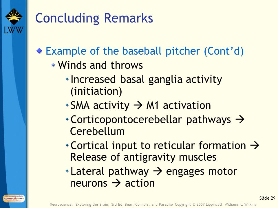 Slide 29 Neuroscience: Exploring the Brain, 3rd Ed, Bear, Connors, and Paradiso Copyright © 2007 Lippincott Williams & Wilkins Concluding Remarks Example of the baseball pitcher (Cont'd) Winds and throws Increased basal ganglia activity (initiation) SMA activity  M1 activation Corticopontocerebellar pathways  Cerebellum Cortical input to reticular formation  Release of antigravity muscles Lateral pathway  engages motor neurons  action