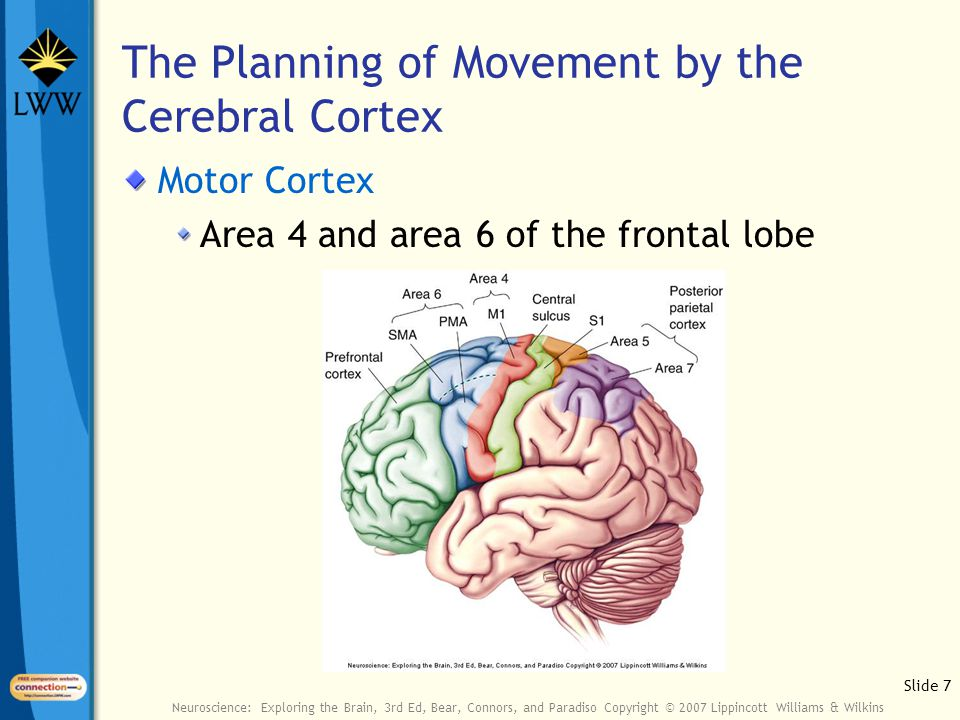 Slide 7 Neuroscience: Exploring the Brain, 3rd Ed, Bear, Connors, and Paradiso Copyright © 2007 Lippincott Williams & Wilkins The Planning of Movement by the Cerebral Cortex Motor Cortex Area 4 and area 6 of the frontal lobe