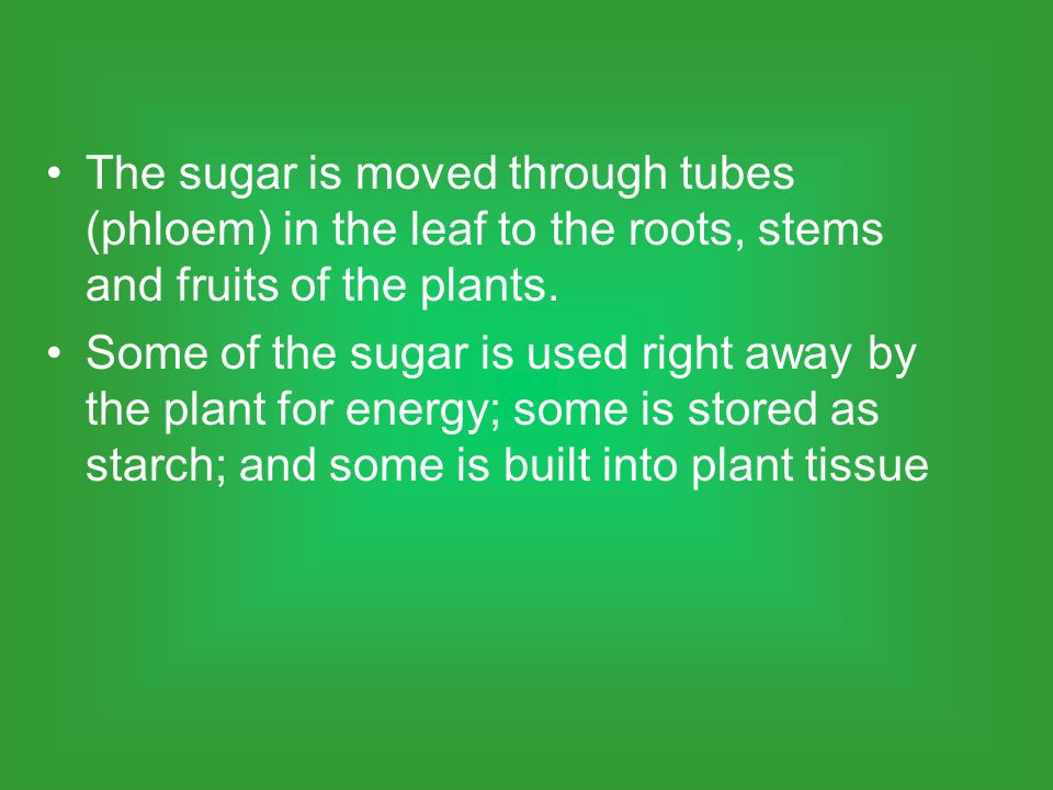 The sugar is moved through tubes (phloem) in the leaf to the roots, stems and fruits of the plants.
