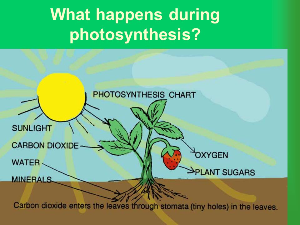 What happens during photosynthesis