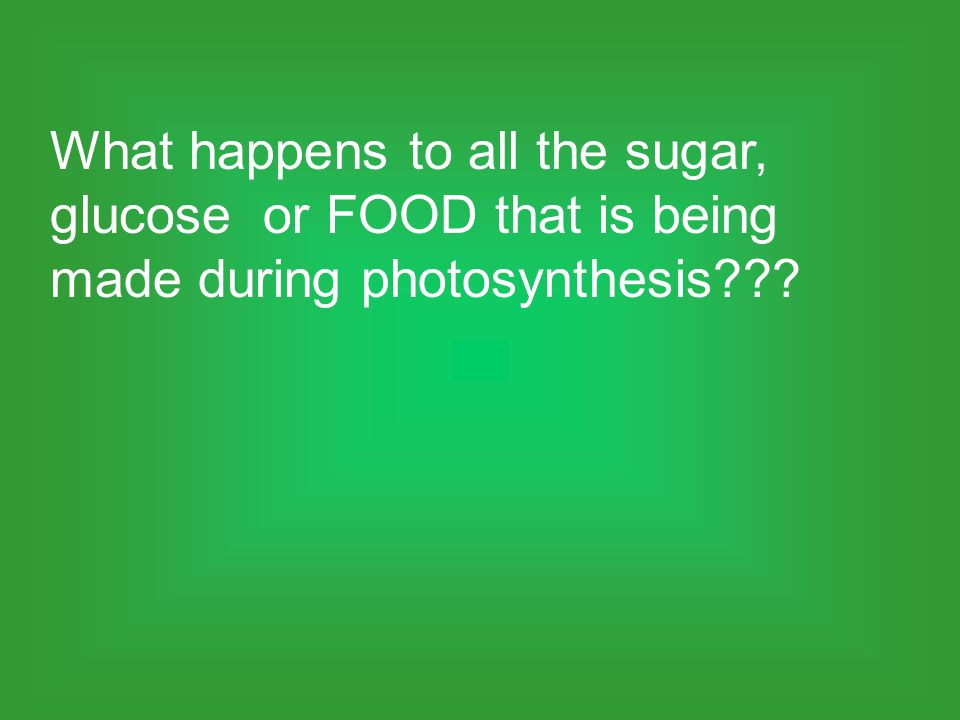What happens to all the sugar, glucose or FOOD that is being made during photosynthesis