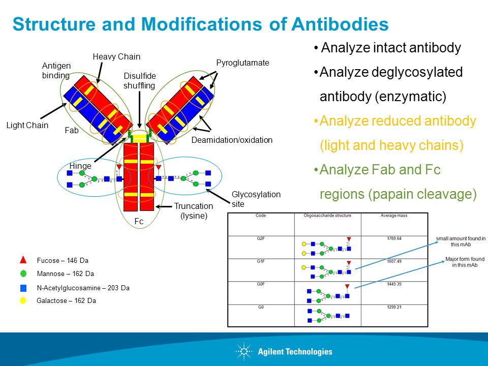 Structure and Modifications of Antibodies Analyze intact antibody Analyze deglycosylated antibody (enzymatic) Analyze reduced antibody (light and heavy chains) Analyze Fab and Fc regions (papain cleavage) Light Chain Fc Fab Antigen binding Hinge Glycosylation site Truncation (lysine) Disulfide shuffling Pyroglutamate Deamidation/oxidation Heavy Chain Fucose – 146 Da Mannose – 162 Da N-Acetylglucosamine – 203 Da Galactose – 162 Da