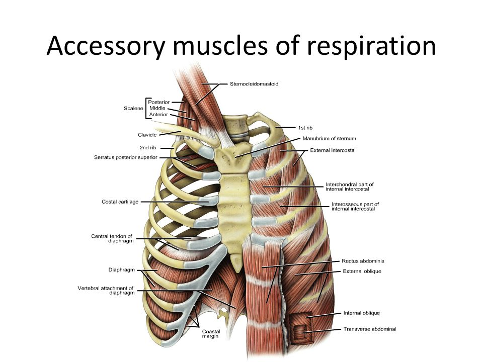 Diaphragm Ajith Sominanda Department Of Anatomy Faculty Of Medicine