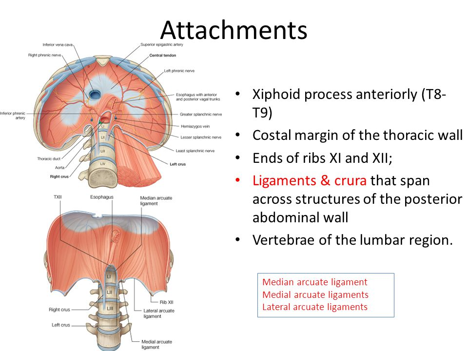 Diaphragm Ajith Sominanda Department Of Anatomy Faculty Of Medicine