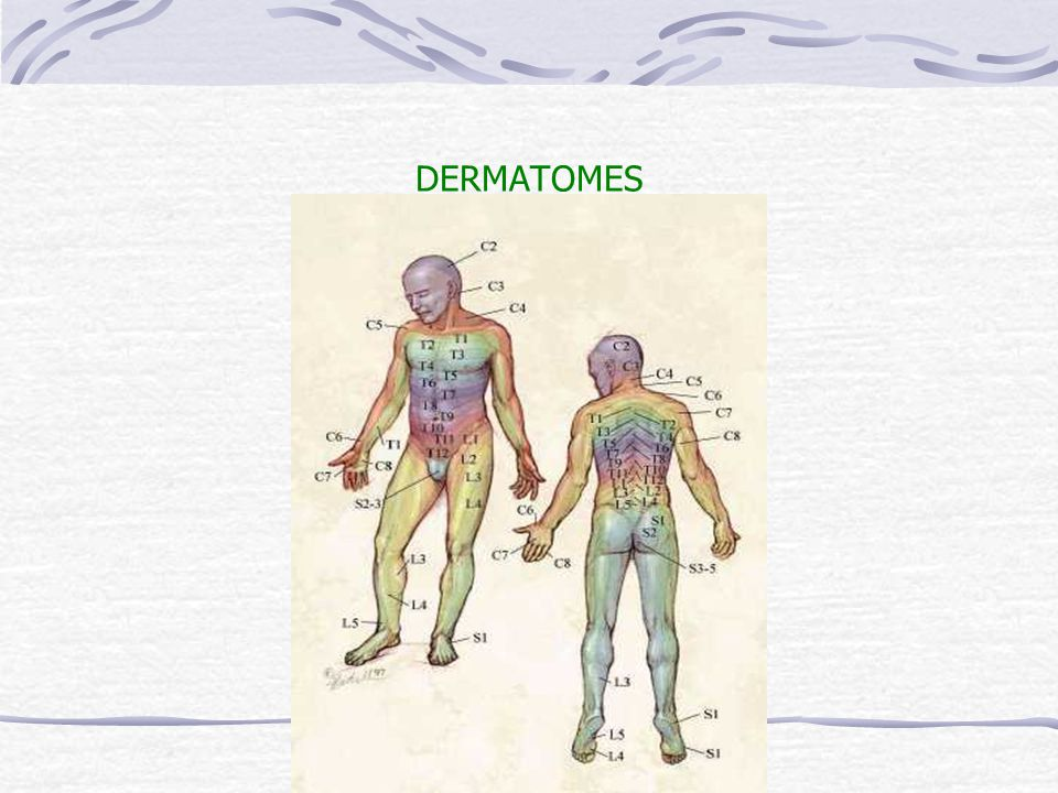 DERMATOMES faculty.valencia.cc.fl.us/.../dermatomes.jpg